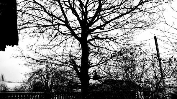За самовольное истребление такого дуба, которому по очень приблизительным подсчётам не менее 200 лет, можно спокойно сесть в тюрьму.